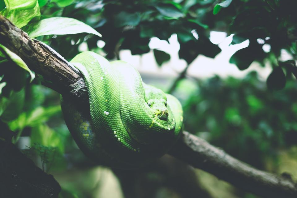animals, reptiles, snakes, coil, tree, branch, leaves, still, bokeh, green