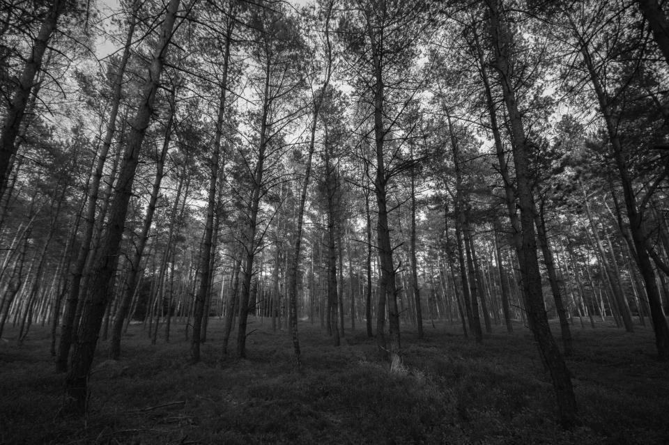 trees, forest, woods, grass, nature, black and white