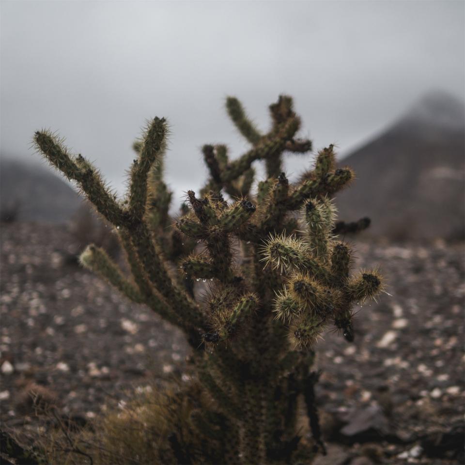 cactus, plant