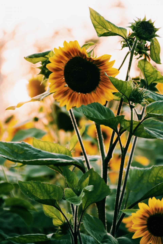 sunflower, bloom, petals, leaves, yellow, plants, nature, garden, summer