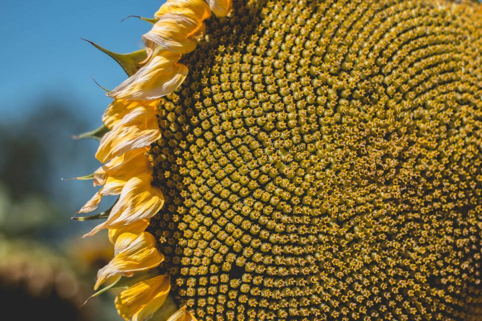 flower, sunflower, yellow, sun, sunny