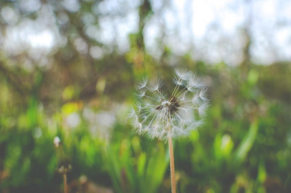 dandelion, flower, nature
