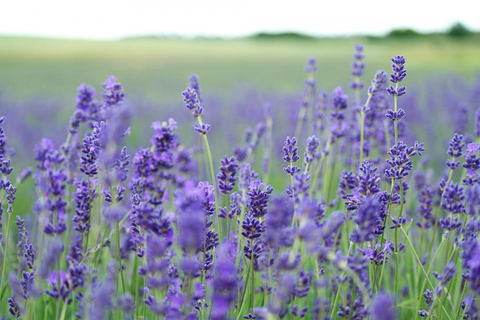 purple, flowers, plants, field, nature, grass
