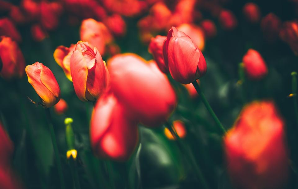 flowers, nature, blossoms, branches, bed, field, stems, stalk, red, petals, bokeh, outdoors, garden, tulips