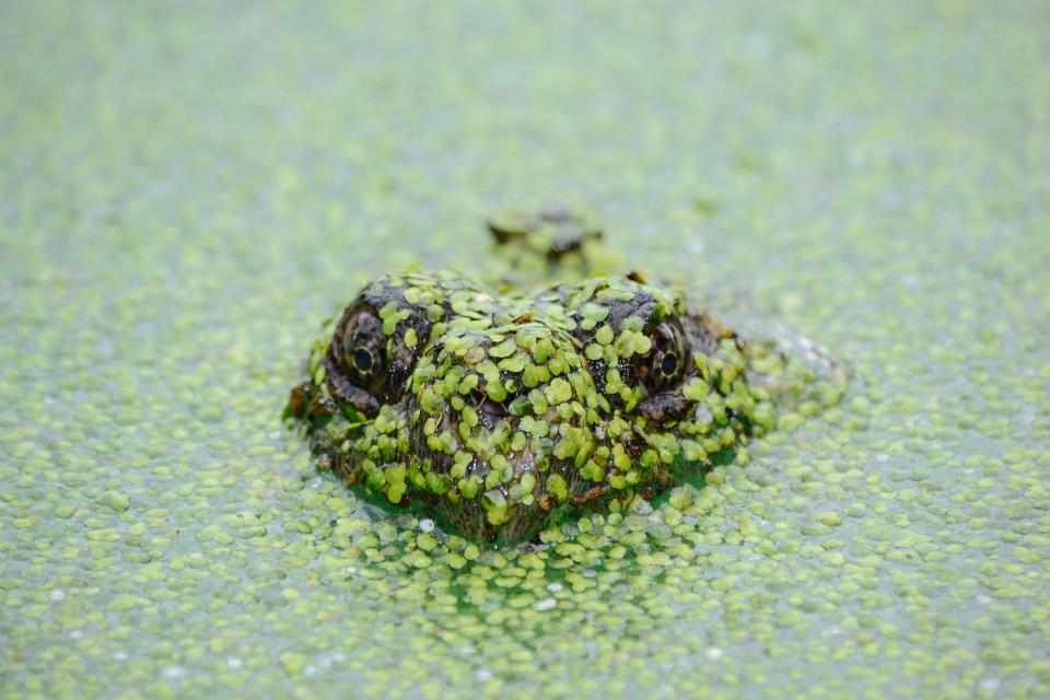 animals, reptiles, amphibians, swamp, marsh, underwater, surface, leaves, moss, eyes, predator