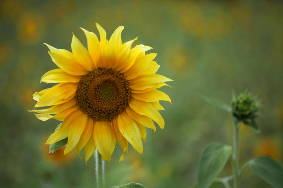 yellow, sunflower, garden, nature