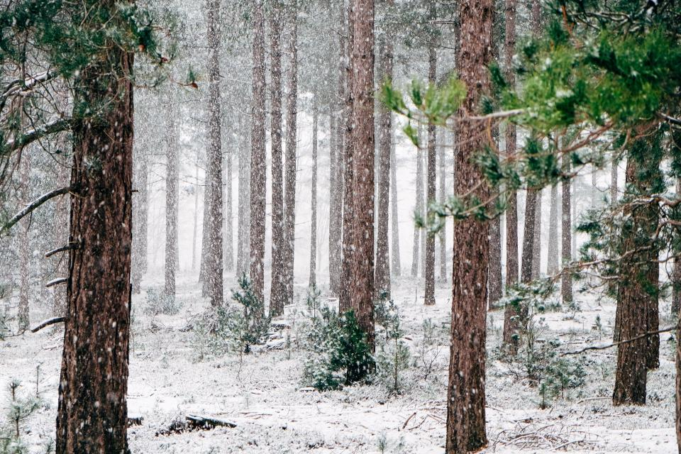 trees, forest, woods, snow, winter, cold, blizzard, nature