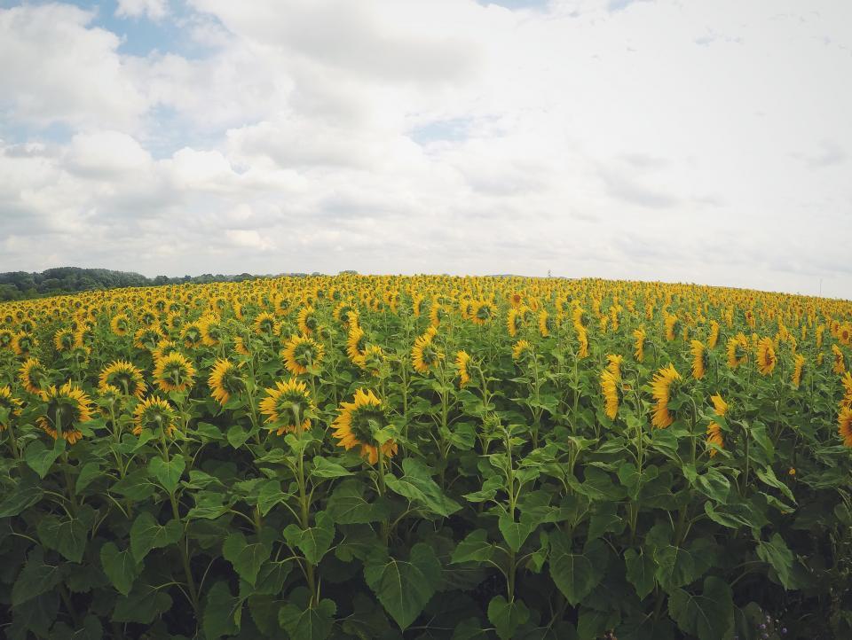 sunflowers, field, green, yellow, nature, outdoors, sky, clouds, garden