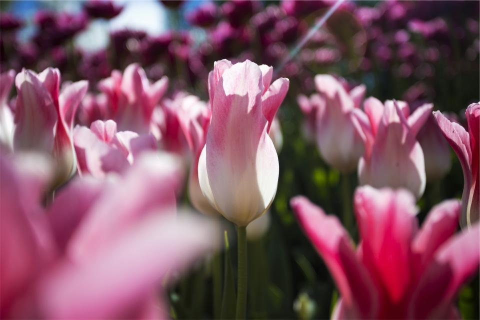 pink, flowers, garden