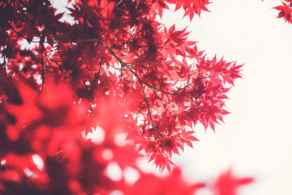 red, leaves, branches, trees, nature