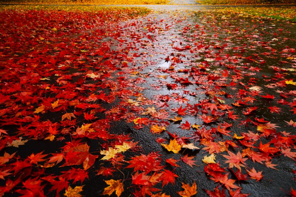 maple leaf, leaves, red, autumn, fall, rain, wet, nature