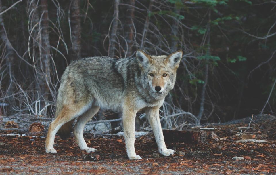 coyote, animal, wild, nature