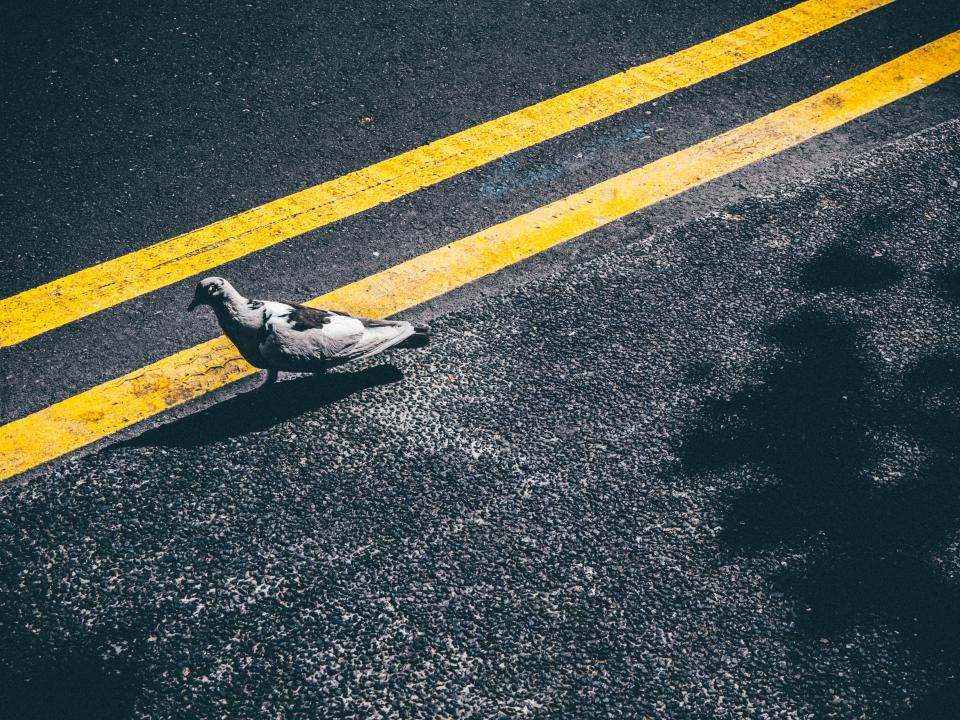 pigeon, bird, pavement, road, street, yellow lines, animals
