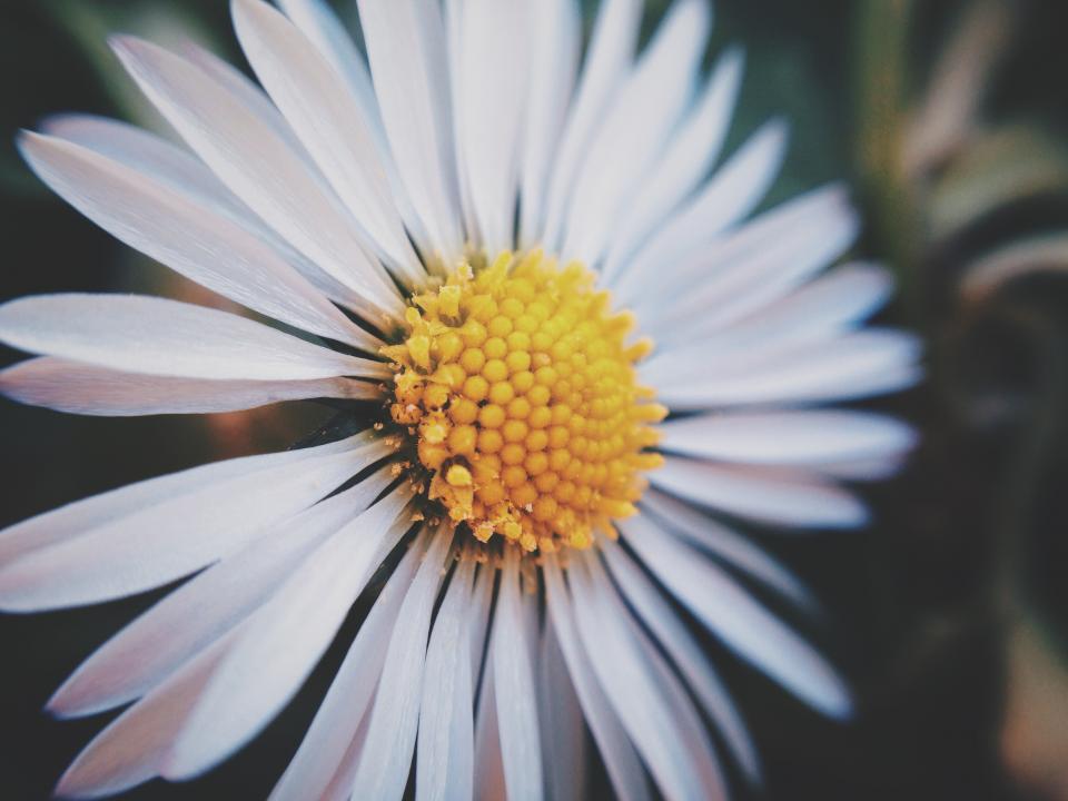 daisy, flower, nature