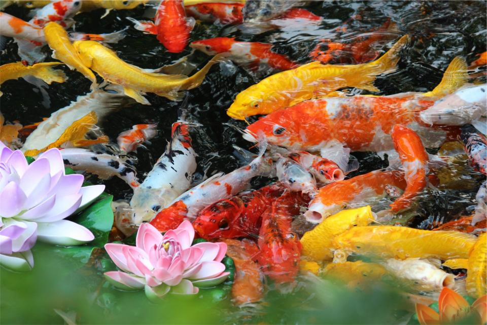 fish, pond, water, flowers