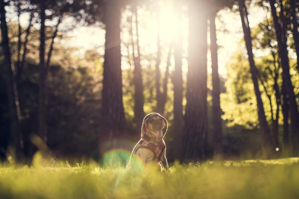 pug, dog, animals, hoodie, sweater, clothes, forest, woods, trees, nature, grass, sun rays, sunshine, model, cute