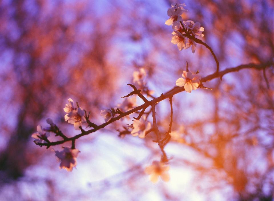 purple, sunshine, trees, blossoms, flowers, plants, nature