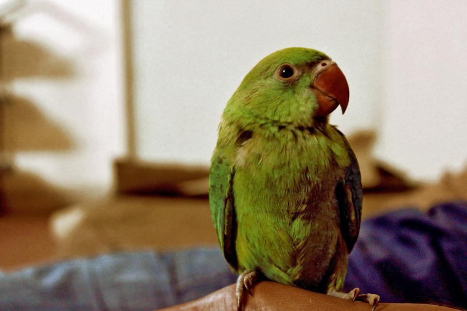 parrot, bird, animals, green