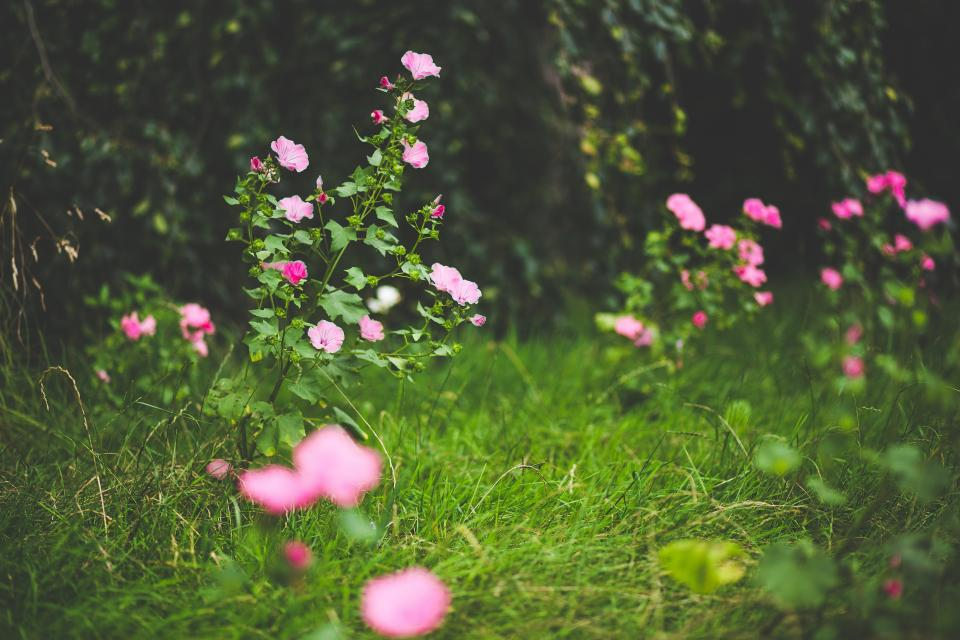 flowers, nature, pink, blossoms, spring, summer, branches, grass, leaves, outdoors, vines, bokeh, still