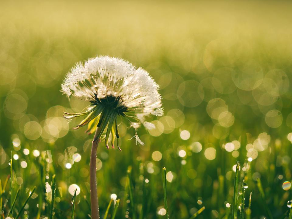 dandelion, flowers, garden, nature, green, grass, outdoors, sunshine, summer, spring