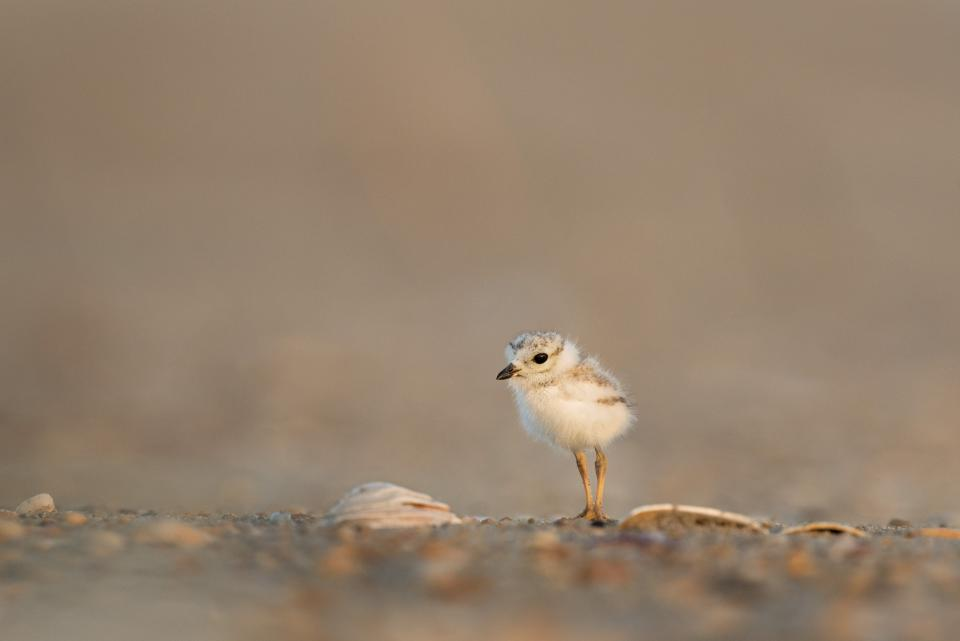 animals, birds, beautiful, gorgeous, stand, chick, baby, offspring, soil, ground, still, bokeh, beige