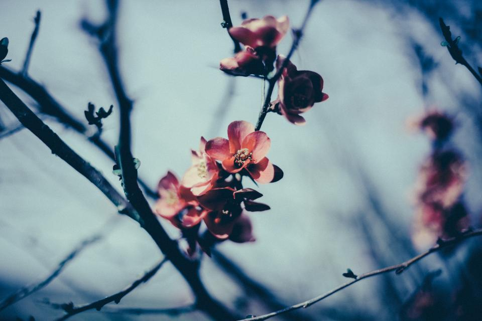 flowers, blossoms, branches, nature, pink, spring
