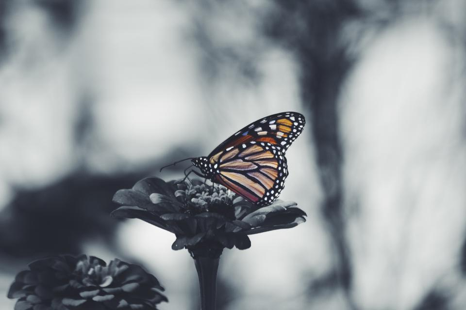 butterfly, flower, nature, plant, insect, gray, blur