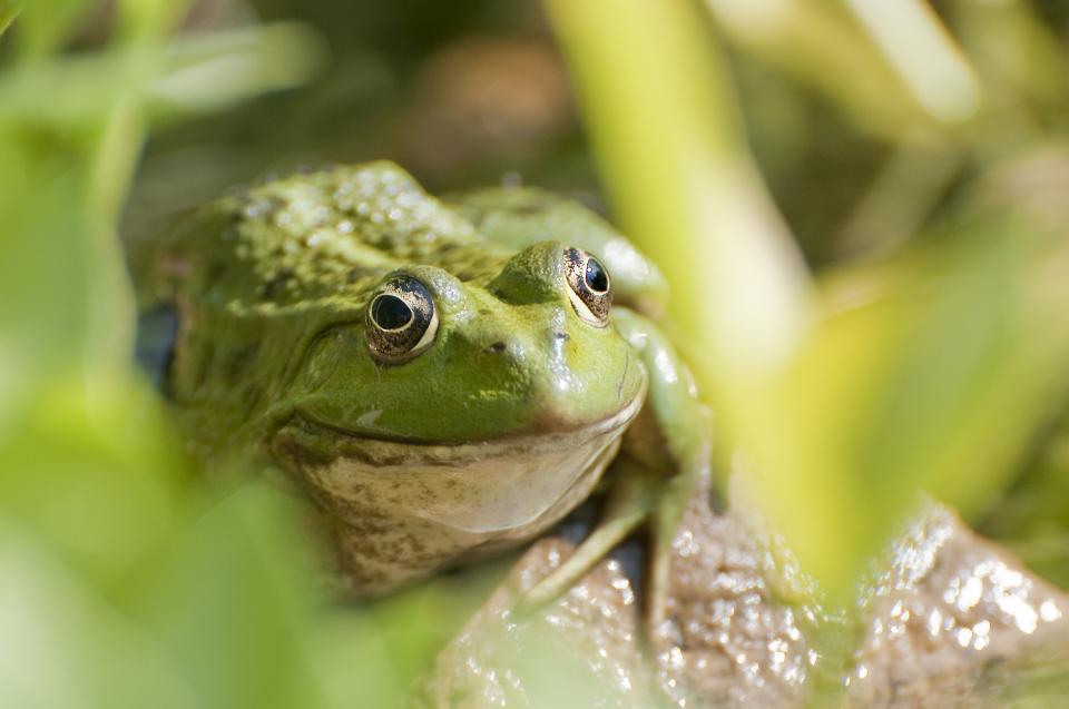 animals, frog, wildlife, rocks, leaves, bokeh, green