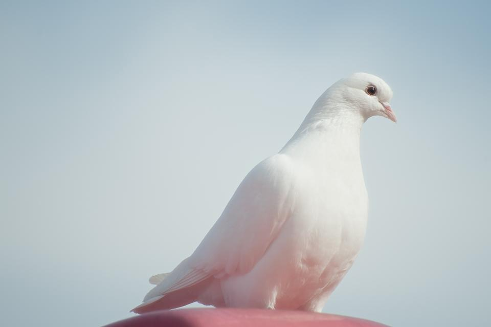 animals, birds, dove, pure, white,