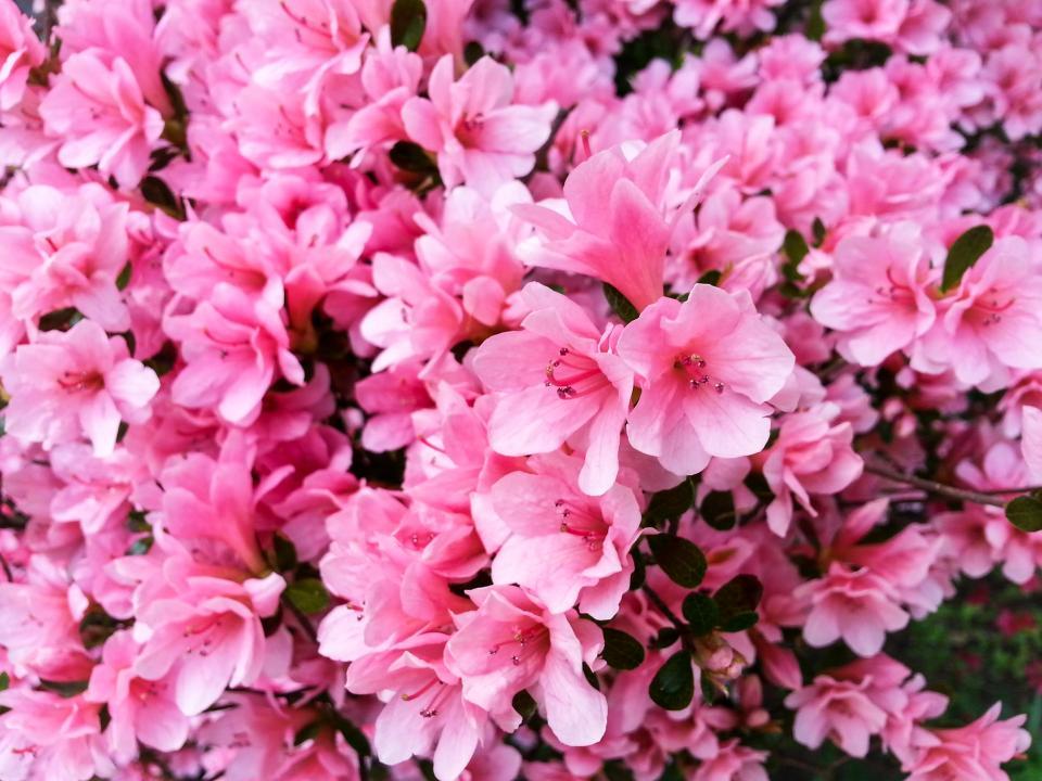 pink, flowers, garden, nature