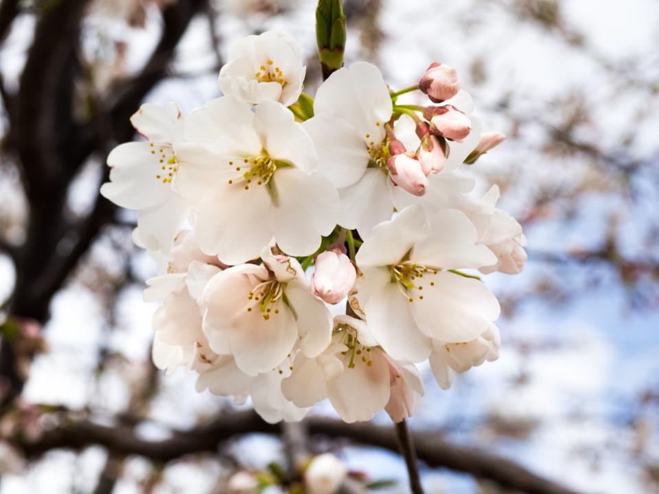 flowers, nature, blossoms, white, branches, trees, petals, leaves, macro, bokeh, outdoors,