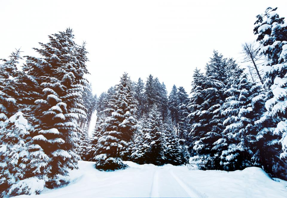 trees, forest, woods, nature, snow, cold, winter