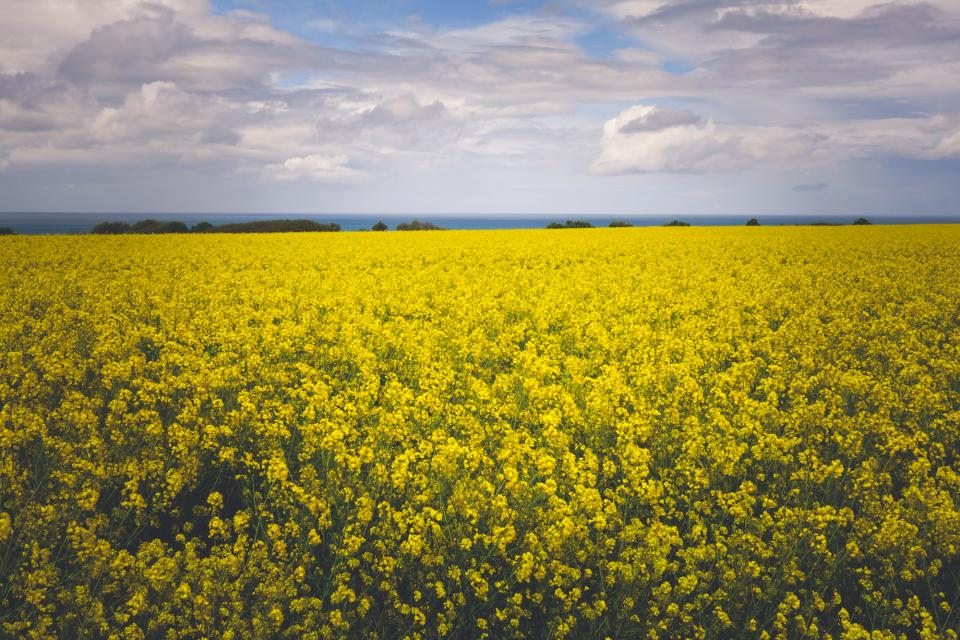yellow, flowers, field, nature, sky, clouds