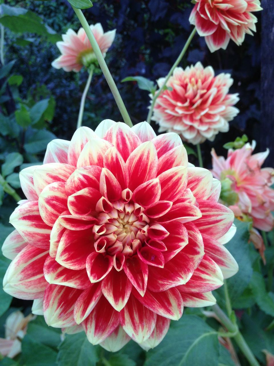 flowers, garden, varigated, Maine
