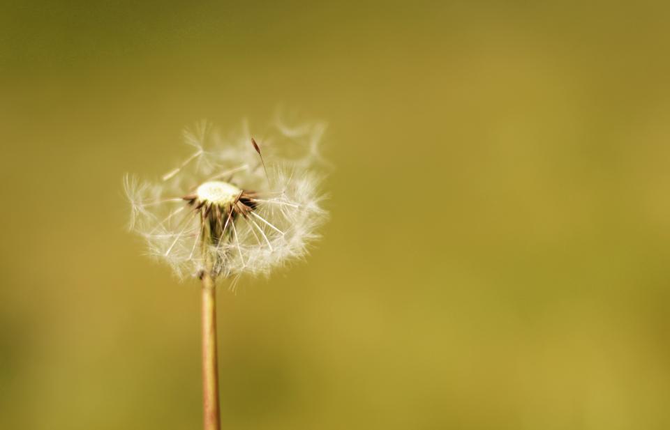 flowers, nature, blossoms, white, stems, petals, leaves, macro, bokeh, outdoors, dandelions, wish, blow, green