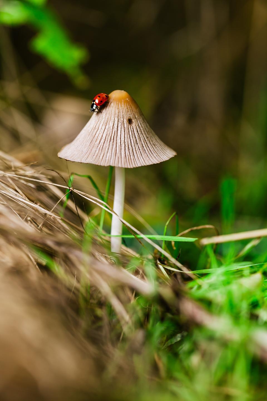 plants, nature, mushrooms, grass, insect, ladybug, still, bokeh