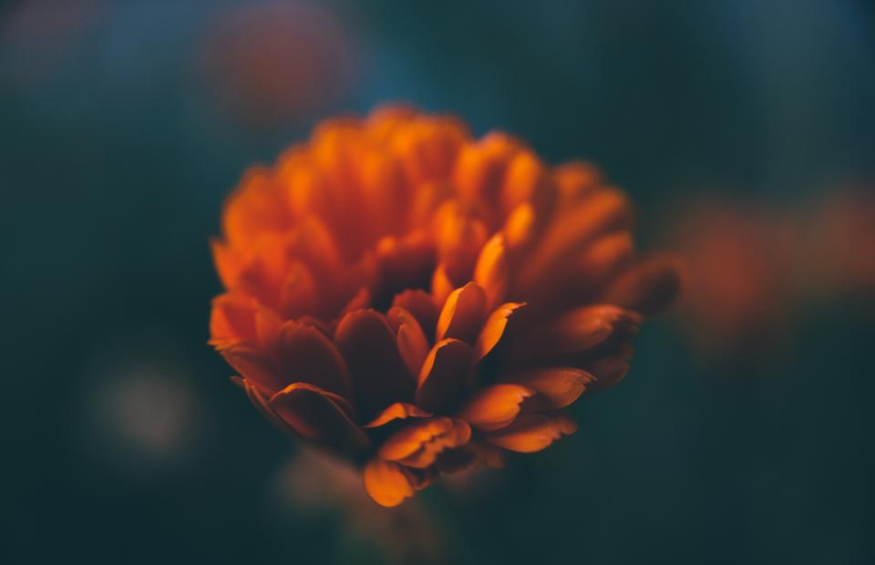 orange, flower, nature