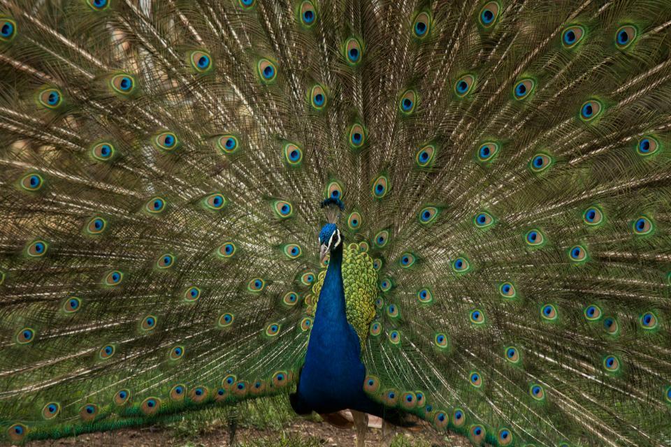 animals, birds, peacock, feathers, plumage, beautiful, majestic, blue, green