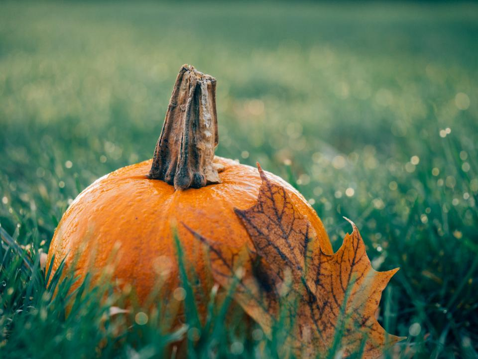 green, grass, maple leaf, pumpkin, halloween, nature, outdoors