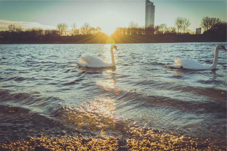 ducks, swans, lake, water, sunshine, sun rays