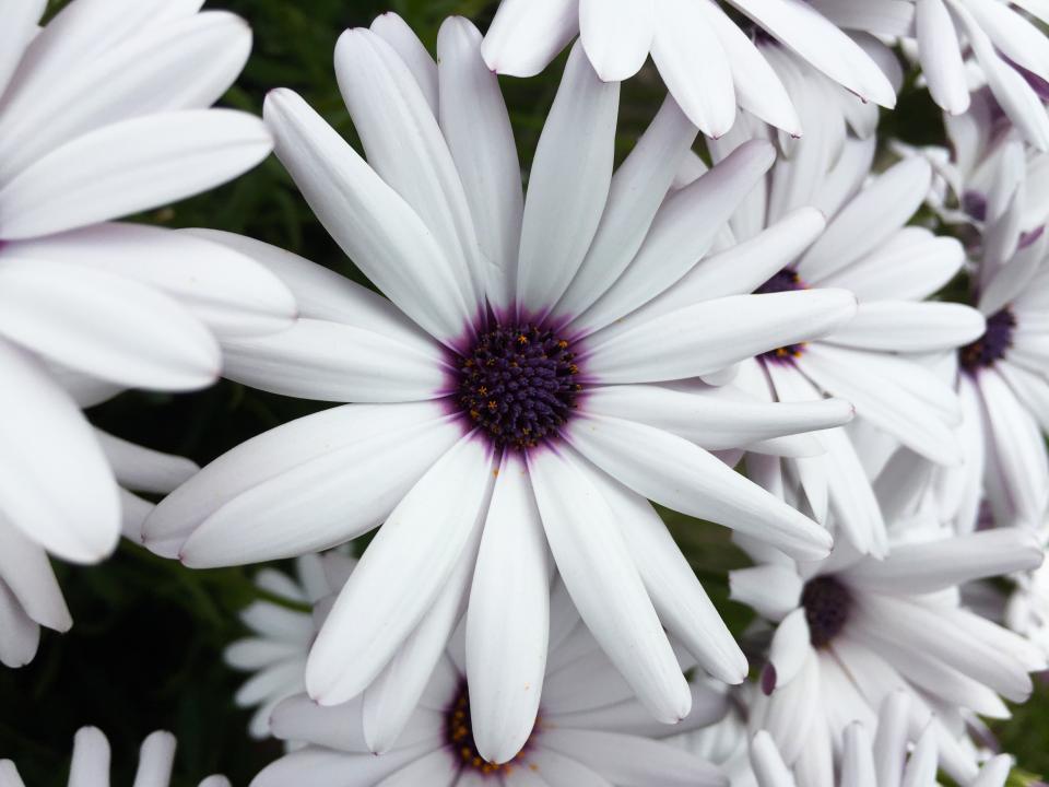 osteospermum, daisy, flower, white, purple, garden, nature