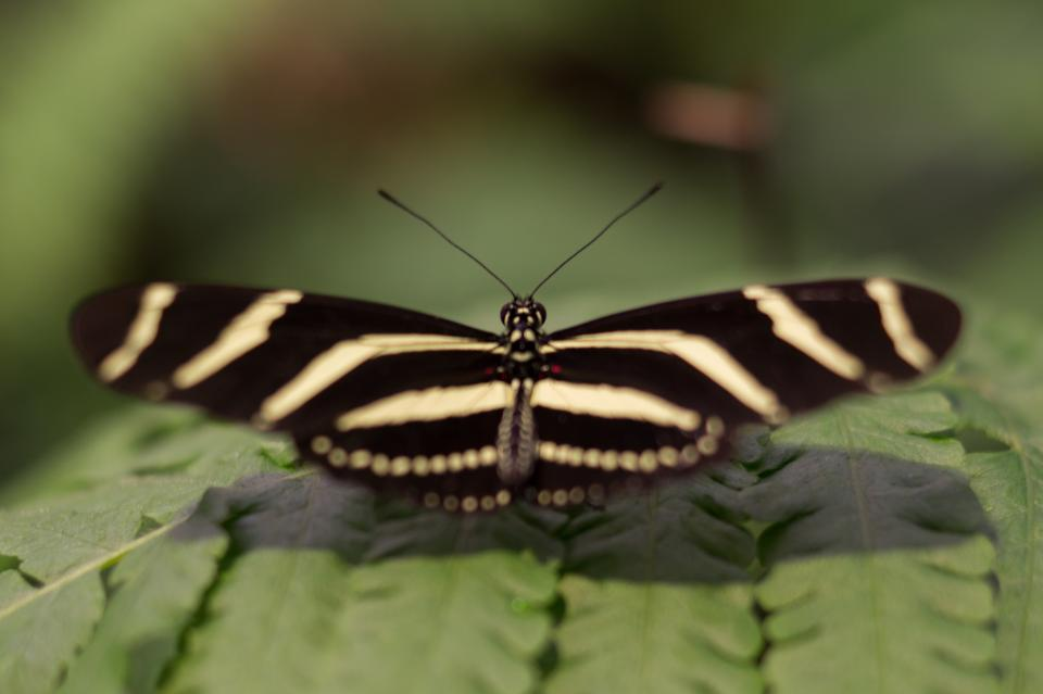 butterfly, wings