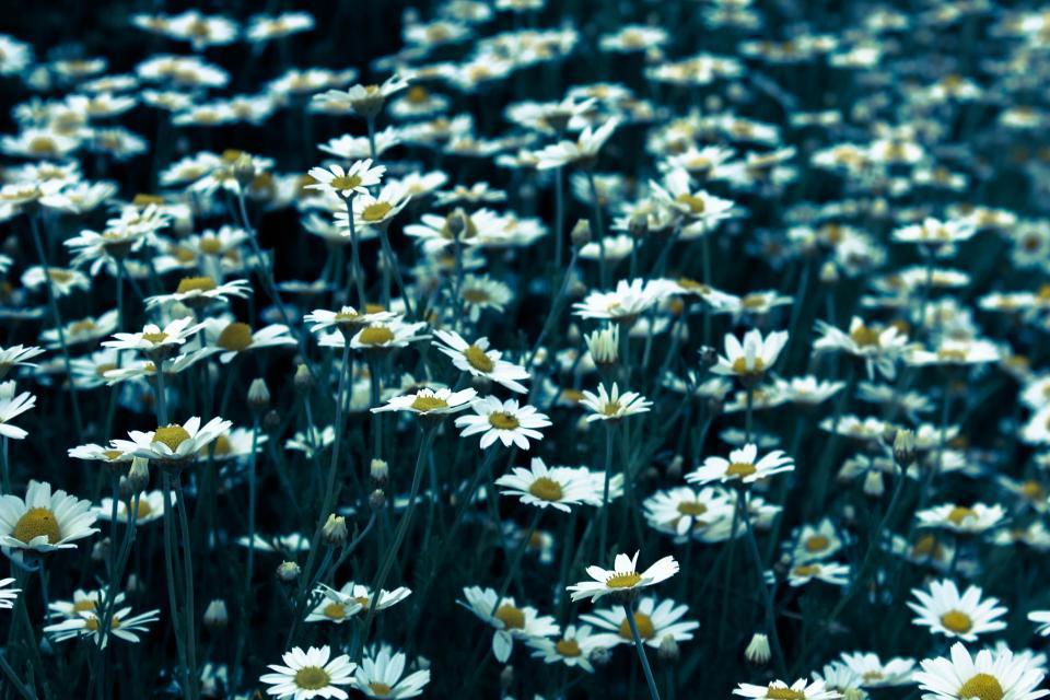 daisy, daisies, flowers, garden, nature