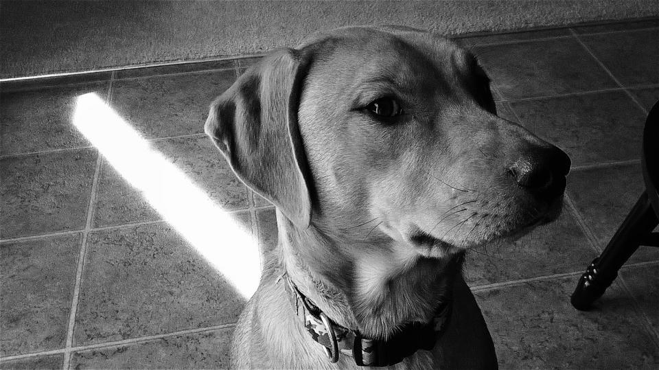 Dog, Black and White, Canine, pet
