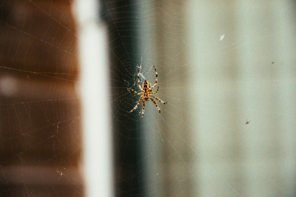 spider, web, insects, animals