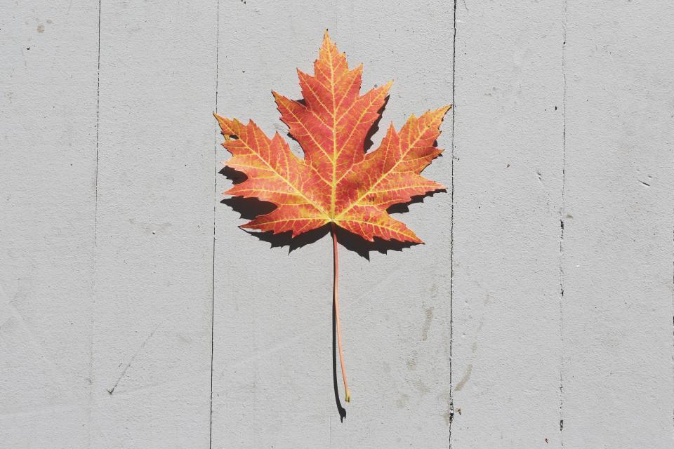 maple leaf, fall, autumn, nature
