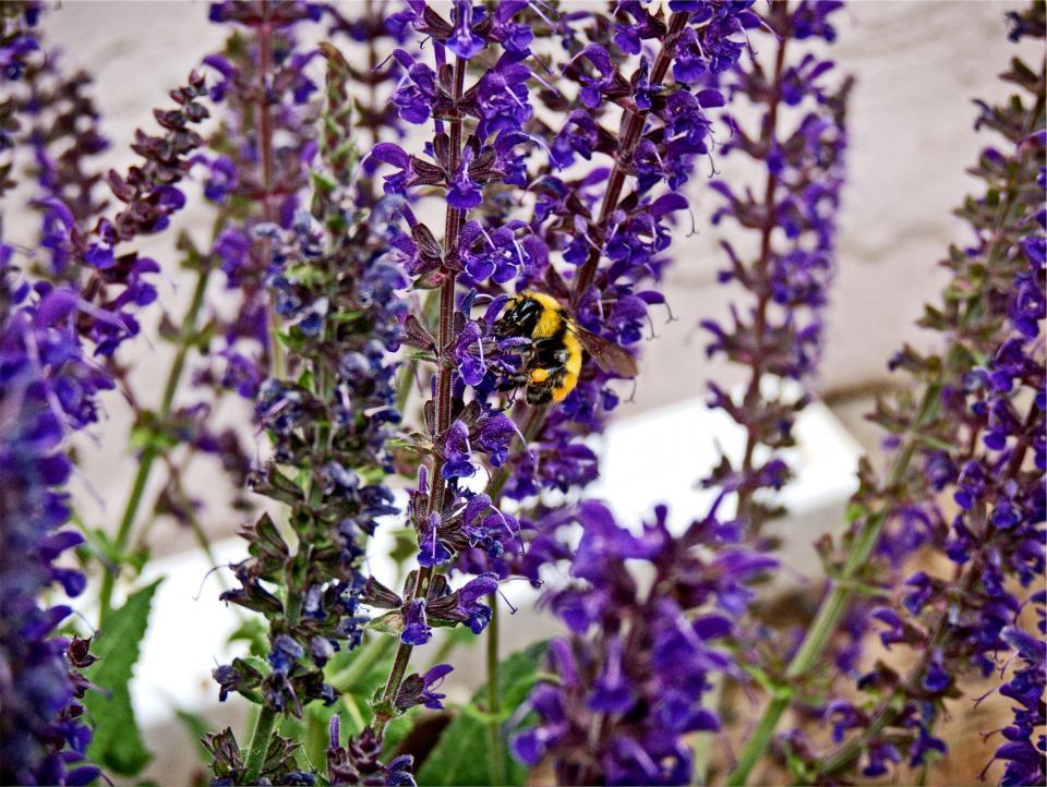 bumble bee, wasp, flowers, garden