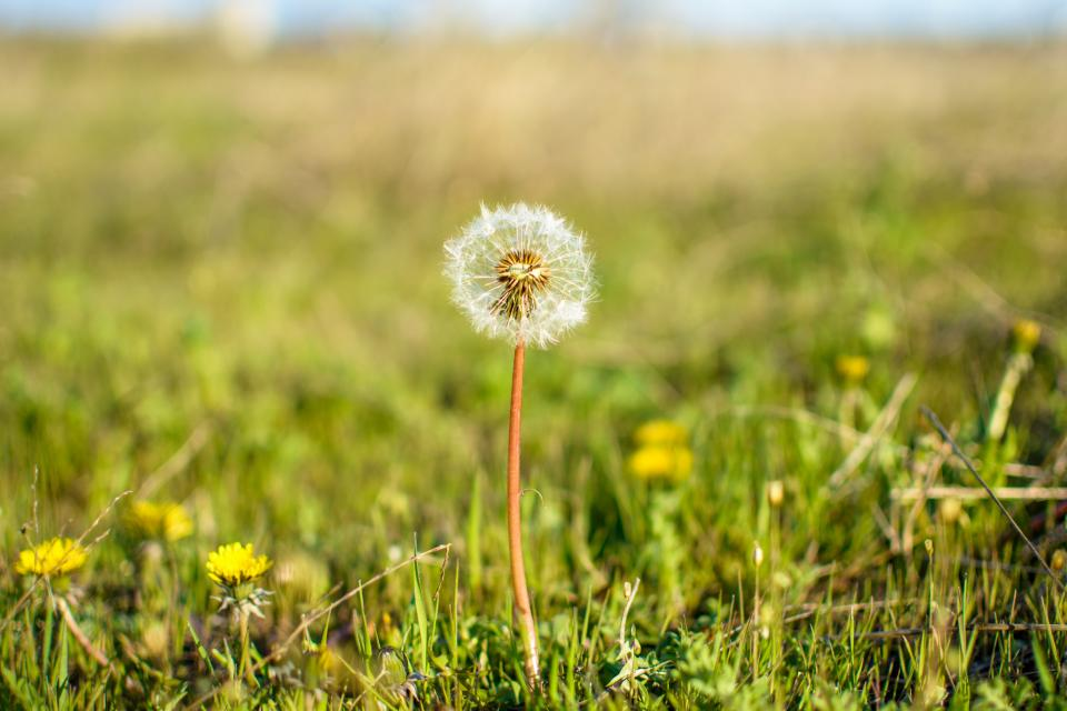 dandelion, flower, grass, field, nature