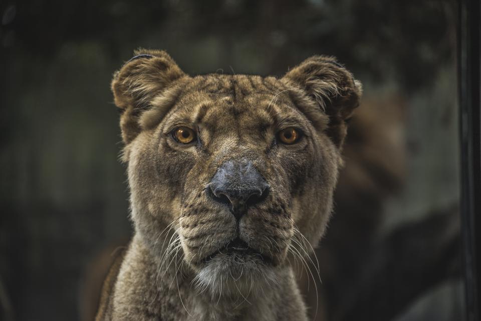 animals, feline, cats, lions, fierce, whiskers, eyes, muzzle, still, bokeh