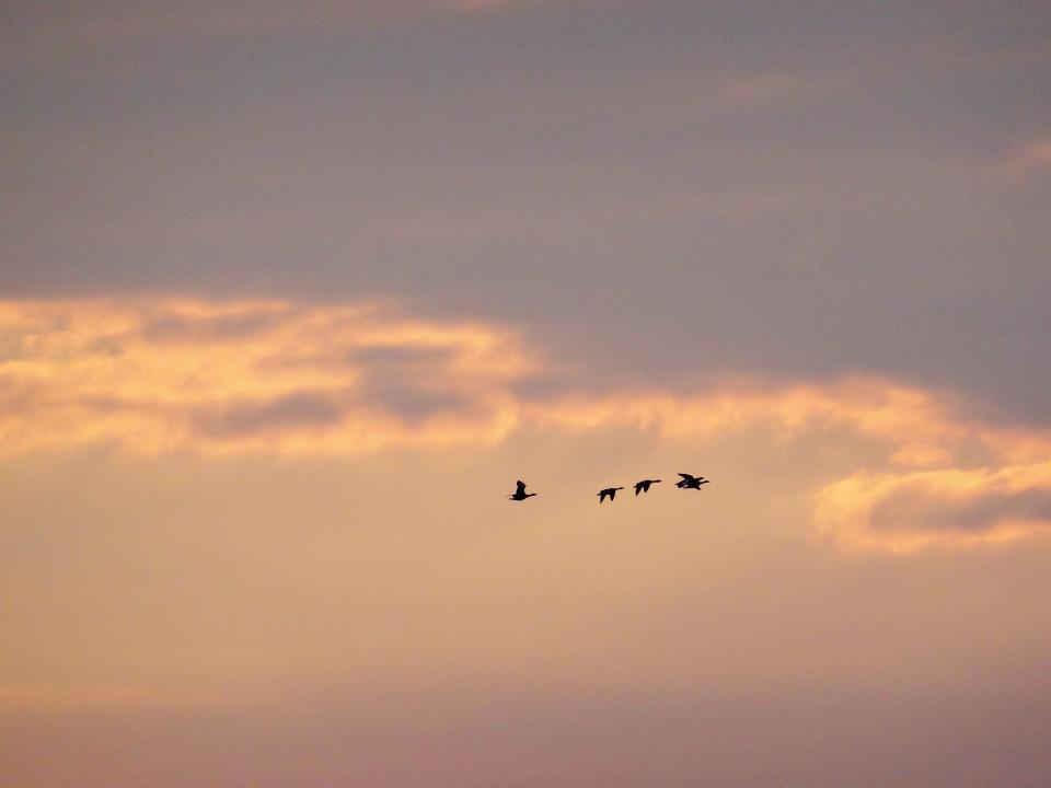 sunset, sky, clouds, birds, flying, animals